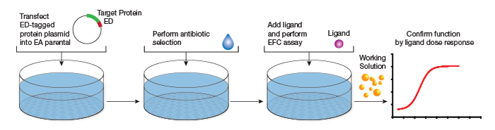 Workflow for cell-based assays