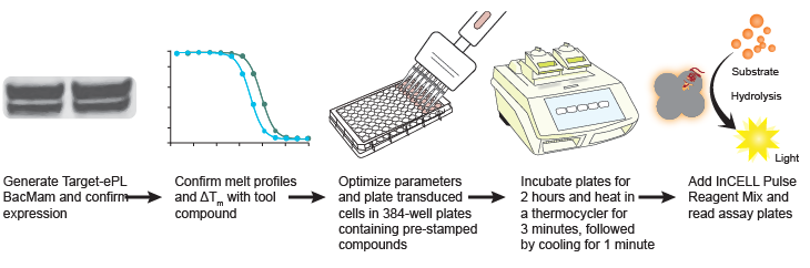 Figure 1. Generic workflow of a high-throughput cellular thermal shift assay using InCELL Pulse™. Source: McNulty DE, et al. SLAS Discovery v23(1): 34-46 (2018).